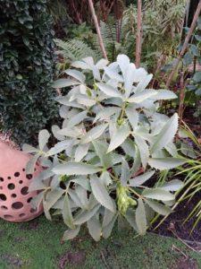 Helleborus 'Silver lace'