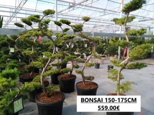 8- LARIX BONSAI C150.175 559.00